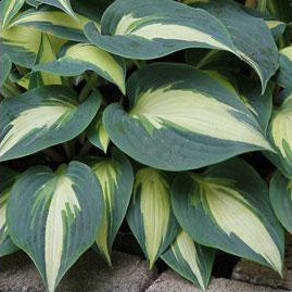 Hosta 'Timeless Beauty'