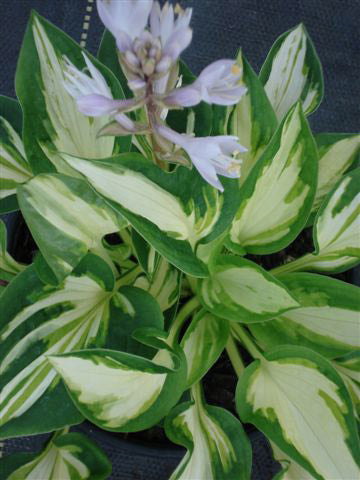 Hosta 'Trifecta'