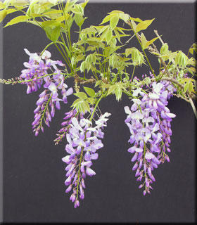 Wisteria sinensis 'Southern Belle'