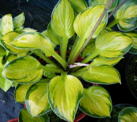 Hosta 'Wylde Green Cream'