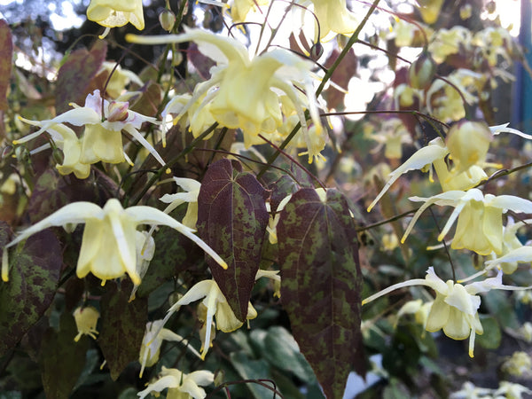 Epimedium 'Yellow Emperor'