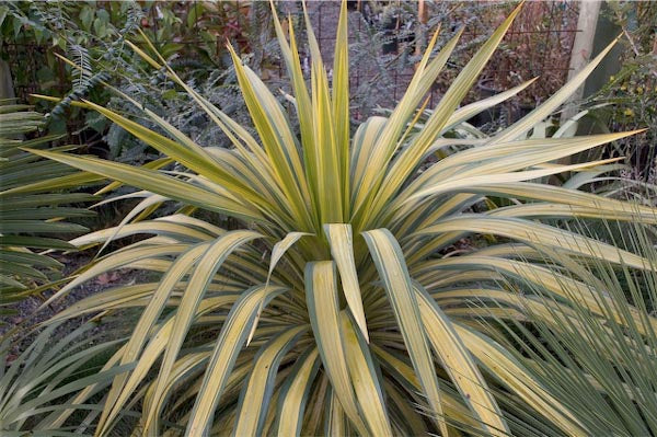 Yucca recurvifolia 'Gold Ribbons'
