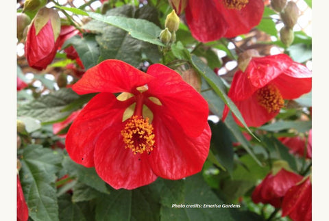Abutilon hybrida 'Lucky Lantern Red' (aka Flowering Maple)