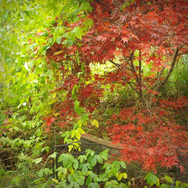 Acer palmatum 'Fireglow' (Japanese Maple)