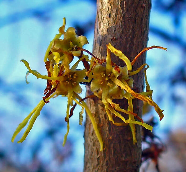 Hamamelis virginiana (Witch Hazel)