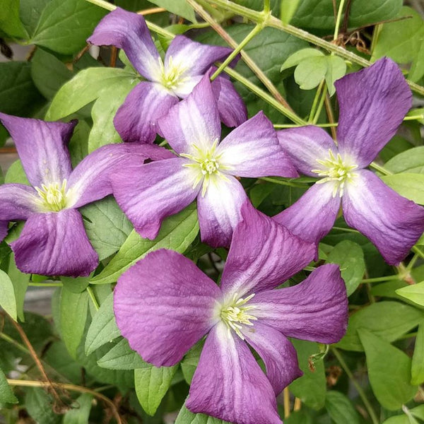 Clematis 'Little Bas'