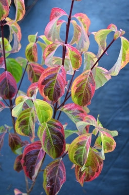 Cornus kousa 'Blue Shadow'
