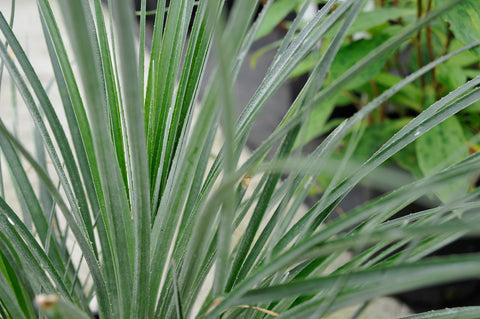 Fascicularia bicolor  'Spinners Form'