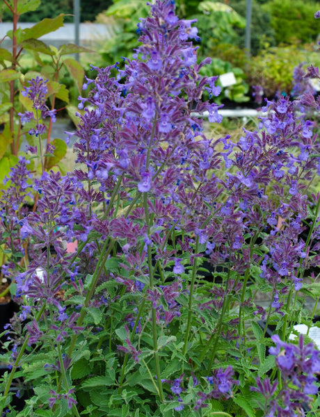 Nepeta faassenii 'Junior Walker'