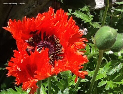 Papaver orientale 'Melody's Orange'