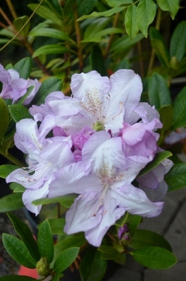 Rhododendron 'Blue River'