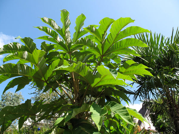 Tetrapanax papyrifer 'Steroidal Giant'