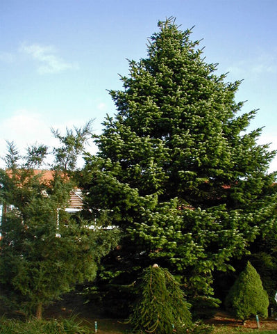 Abies bornmuelleriana - Turkish Fir