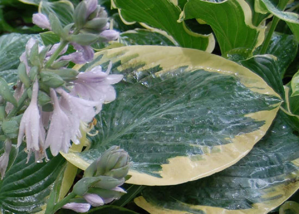 Hosta 'Waukon Glass'