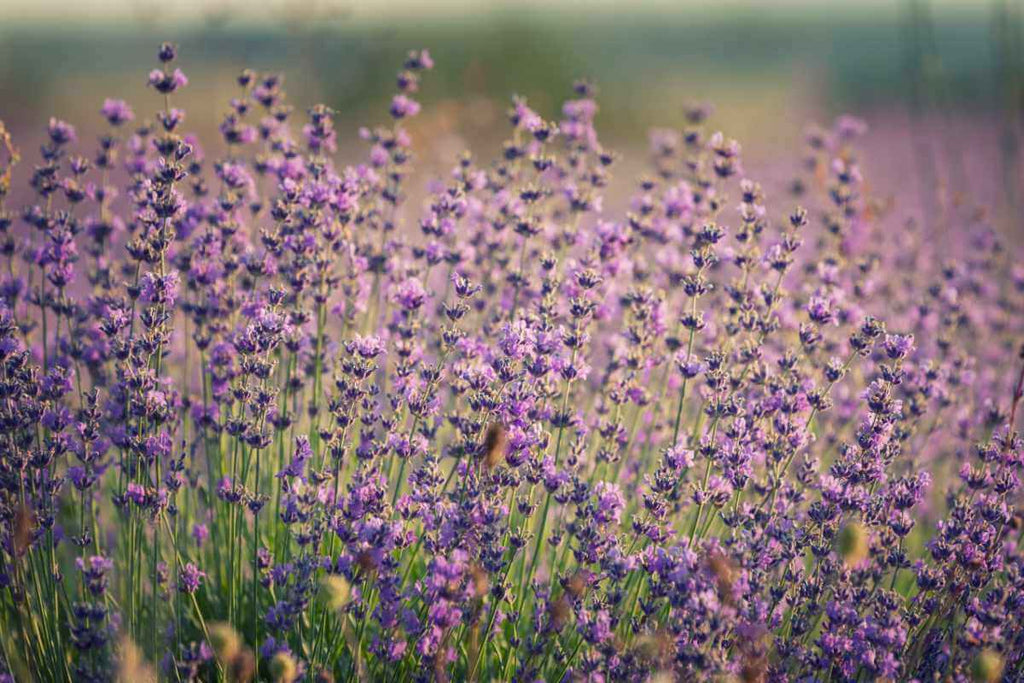 Why we love lavender
