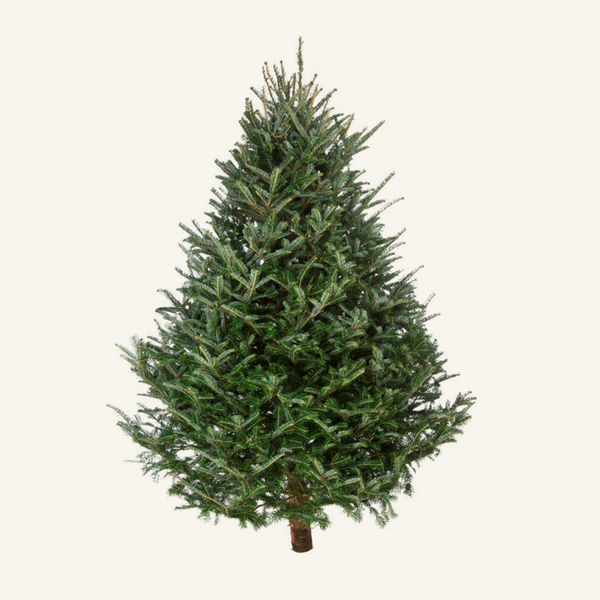 The Fraser Fir is best known for its delightful shape, and has sturdy branches (for holding heavy ornaments)! <p>