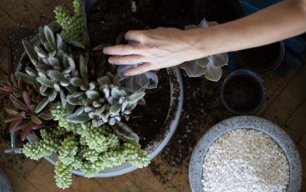 Our Guide to Repotting Succulents and Cacti