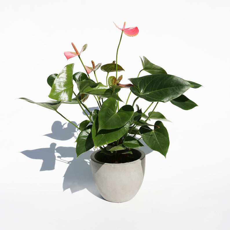 Anthurium Plant in Concrete Pot