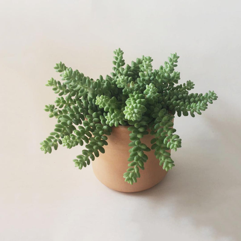 Burro Tail in Buff Clay Pot