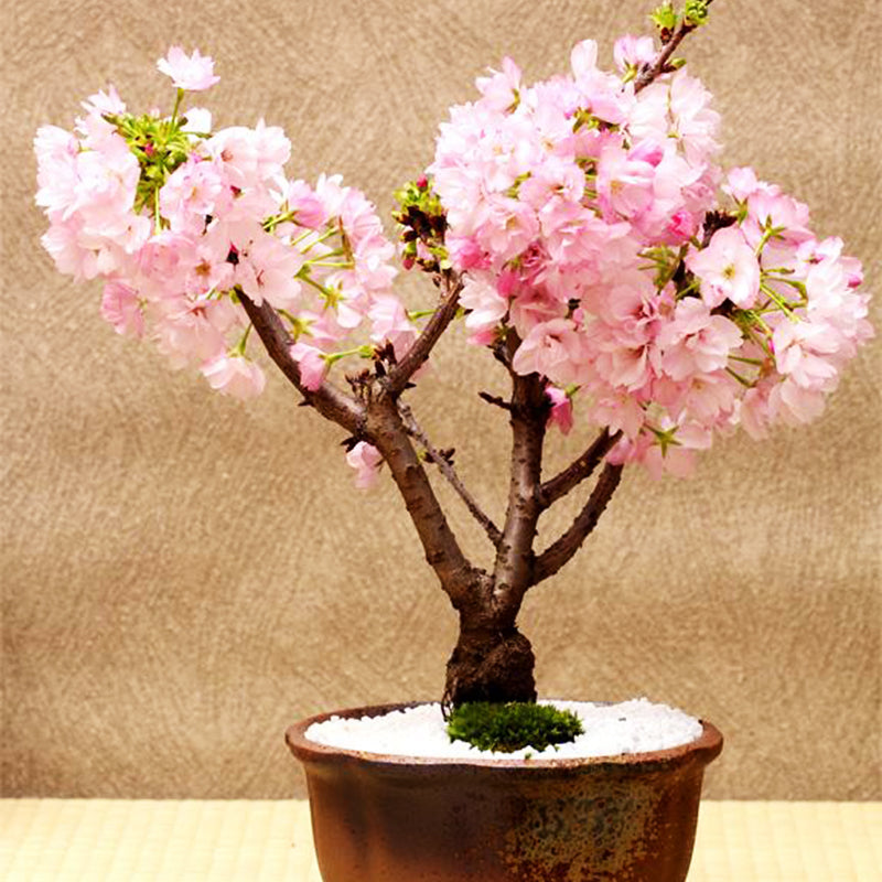 10 Pcs Rare Pink Japanese Sakura Seeds Indoor Cherry Blossom Bonsai Fl Universal Suppliers Group