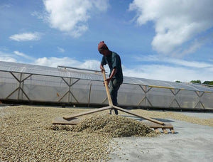 Wet-hulled Sumatran coffee drying on a patio