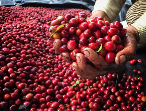 Coffee Processing: An Introduction