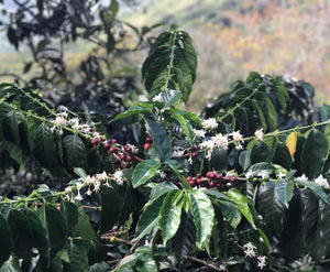 The globe-trotting history of two coffee varieties for International Coffee Day