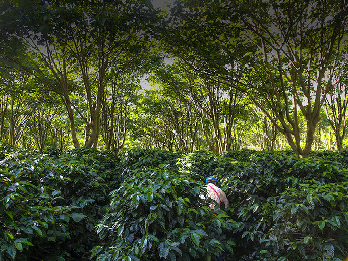 "Marsellesa and Starmaya: ""a potential sea change"" for the coffee industry"