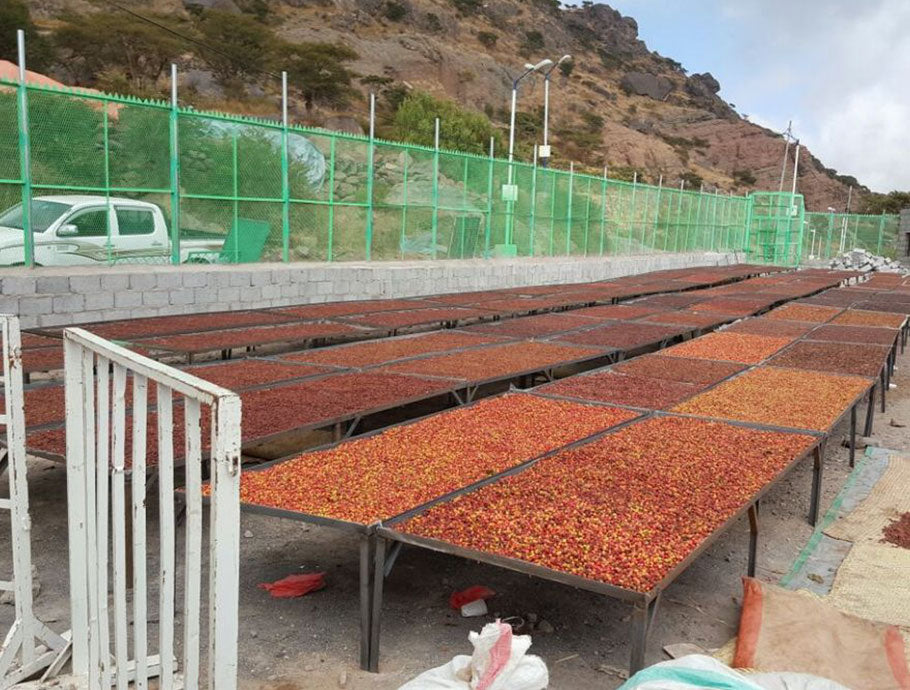 PT's Haraaz Special Red drying on raised beds