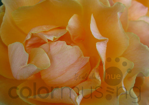 Golden Peach Rose photo, a Colormusing original, available at Shutterstock