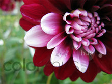 Load image into Gallery viewer, Bi-color Dahlia original photo, downloadable PSD/JPEG files (1 image, 2 formats, print/screen use)
