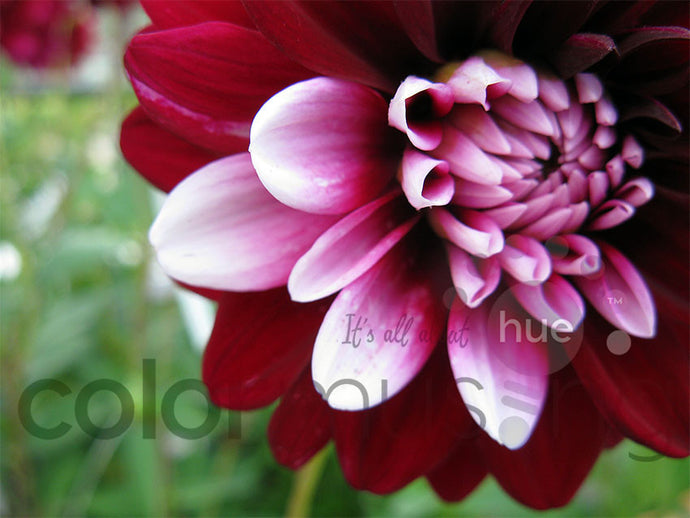 Bi-color Dahlia original photo, downloadable PSD/JPEG files (1 image, 2 formats, print/screen use)