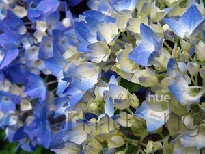 Blue Hydrangea Color Palette: Downloadable Editable PSD/JPEG Files