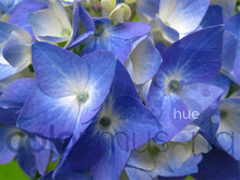 Load image into Gallery viewer, Blue Hydrangea Color Palette: Downloadable Editable PSD/JPEG Files