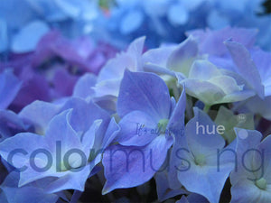 Blue Hydrangea, downloadable PSD/JPEG collection of 3 original photos (print/screen use)