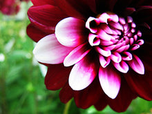 "Load image into Gallery viewer, Bi-color Dahlia original photo printed on gallery-wrapped canvas, 24"" x 18"", ready to hang"
