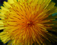 "Load image into Gallery viewer, Dandelion Close-up original photo printed on gallery-wrapped canvas, 14"" x 11"", ready to hang"