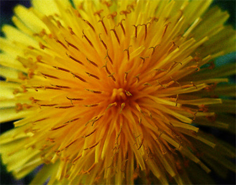 "Dandelion Close-up original photo printed on gallery-wrapped canvas, 14"" x 11"", ready to hang"