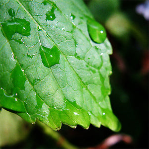 "Raindrops on Rose Leaf original photo printed on gallery-wrapped canvas, 8"" x 8"", ready to hang"