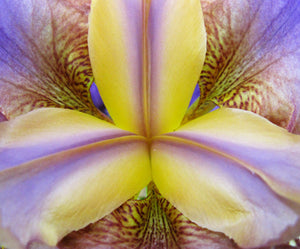 "Purple & Yellow Iris Extreme Close-up Photo on  20""x16"" Gallery-wrapped Canvas"