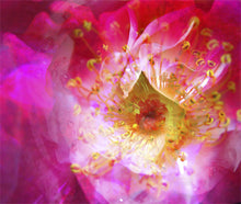 "Load image into Gallery viewer, Rosy Glow Photo Montage on  24""x20"" Gallery-wrapped Canvas, ready to hang"