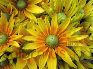 Sunflowers, downloadable PSD/JPEG collection of 3 original photos (print/screen use)