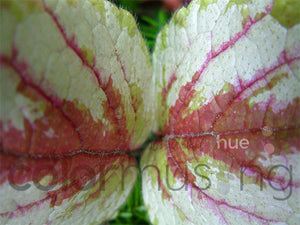 Variegated Leaves I, downloadable PSD/JPEG collection of 3 original photos (print/screen use)