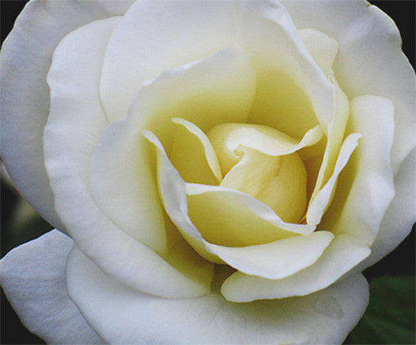 White Rose original photo printed on gallery-wrapped canvas, 20