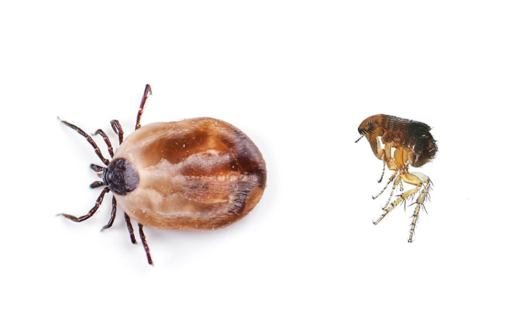 Fleas And Ticks Advice For Pet Owners