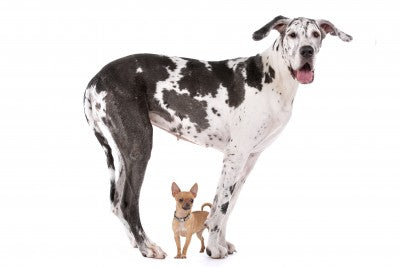 small and large dog