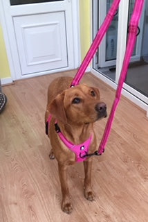 dog with harness and double ended lead