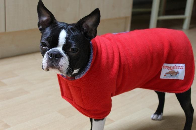 Dandy the boston terrier in a red drying coat