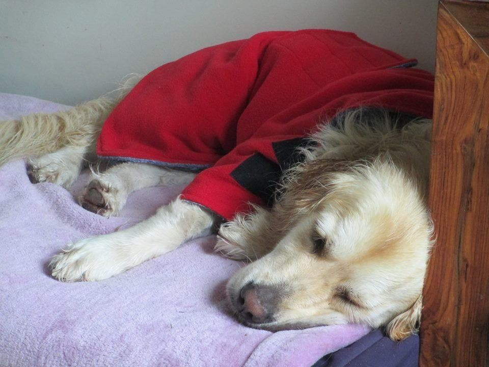retriever relaxing in a snugglezzz drying coat