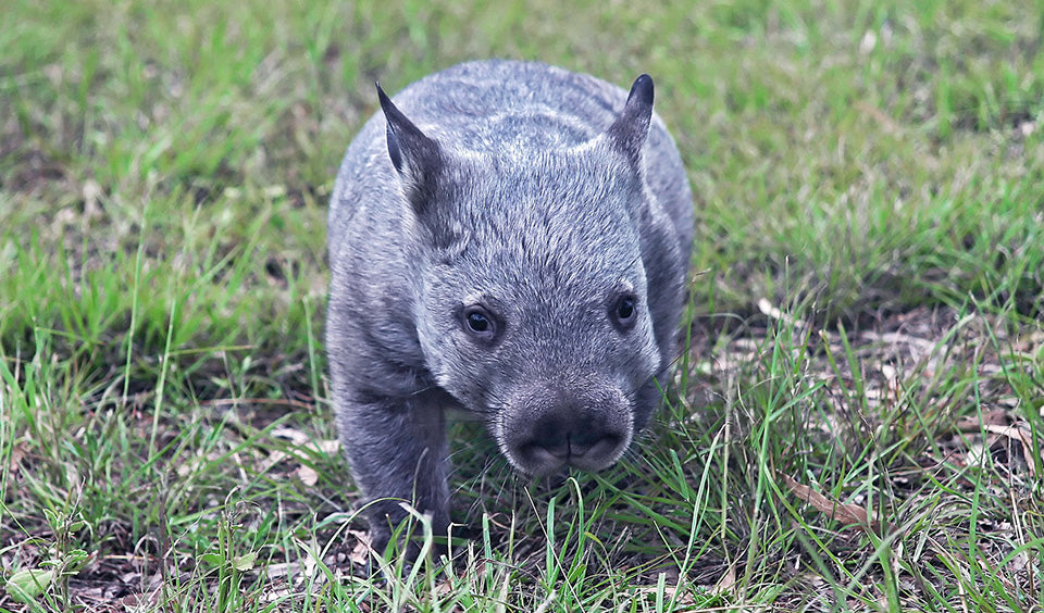 UPDATE: Northern Hairy Nosed Wombat upgraded to Critically Endangered